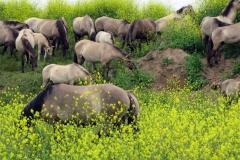 Natuur - wilde paarden in Millingerwaard